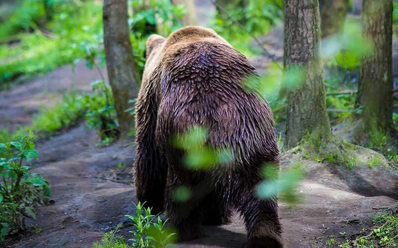 森を歩く熊