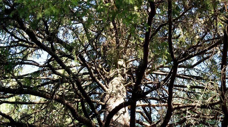 古い松の木