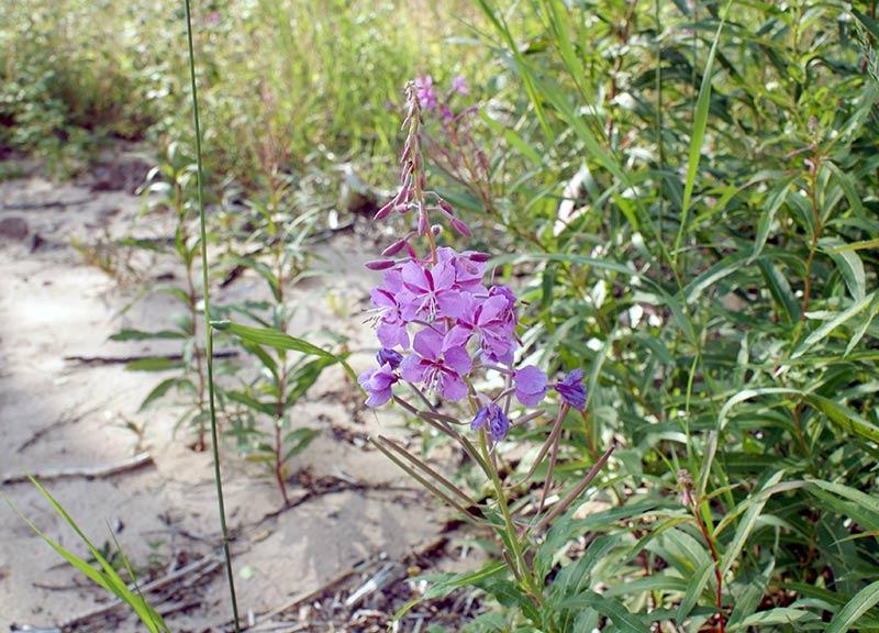 ヤナギランの花