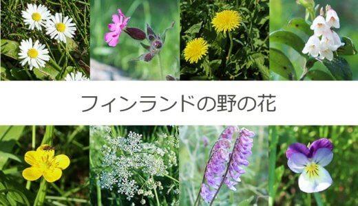 【写真つき】フィンランドで見られる野の花まとめ【現在18種】