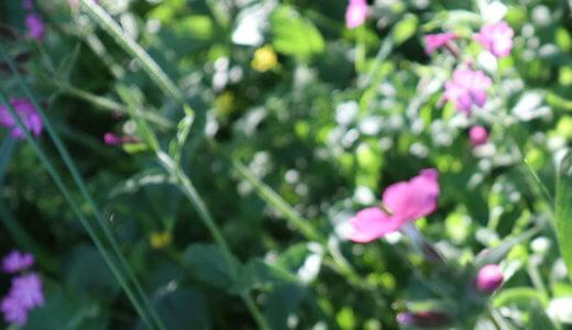 【写真つき】フィンランドで見られる野の花まとめ【随時更新】