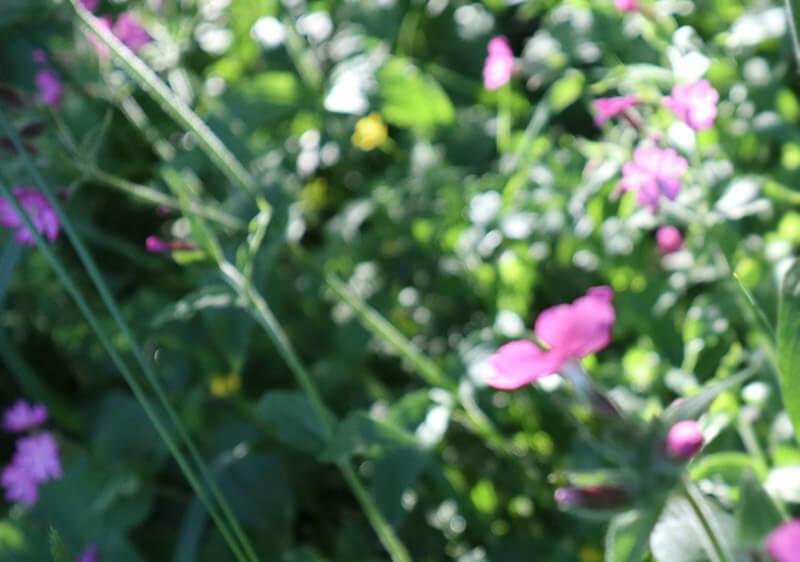 フィンランドで見られる野の花まとめ